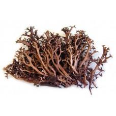 Исландский мох (цетрария)